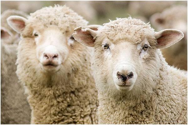 Симптомы инфекционной энтеротоксемии овец, методы лечения и профилактика