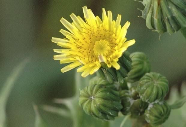Осот полевой: применение в народной медицине, польза и вред растения