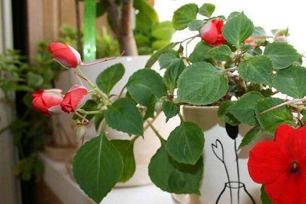 Выращивание и уход за бальзамином Том Самб в домашних условиях