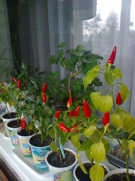 Особенности выращивания декоративного перца в домашних условиях