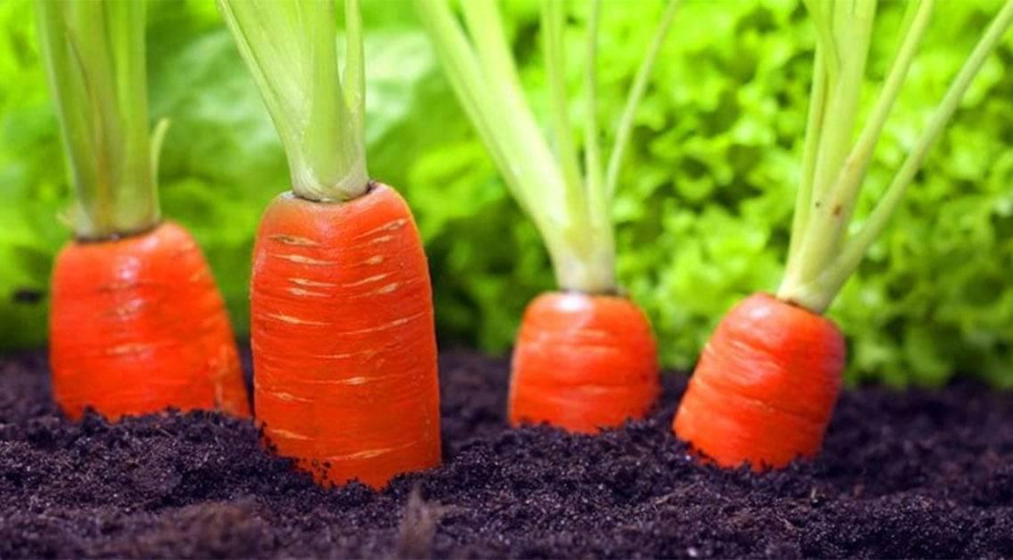 Посадка моркови под зиму 2020 года