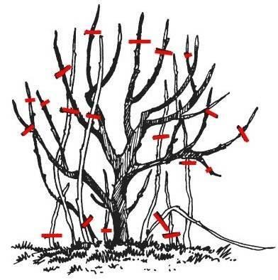 Обрезка красной и черной смородины: когда и как правильно это делать