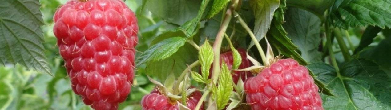 Малина патриция: описание сорта, обрезка после цветения и особенности выращивания на шпалере