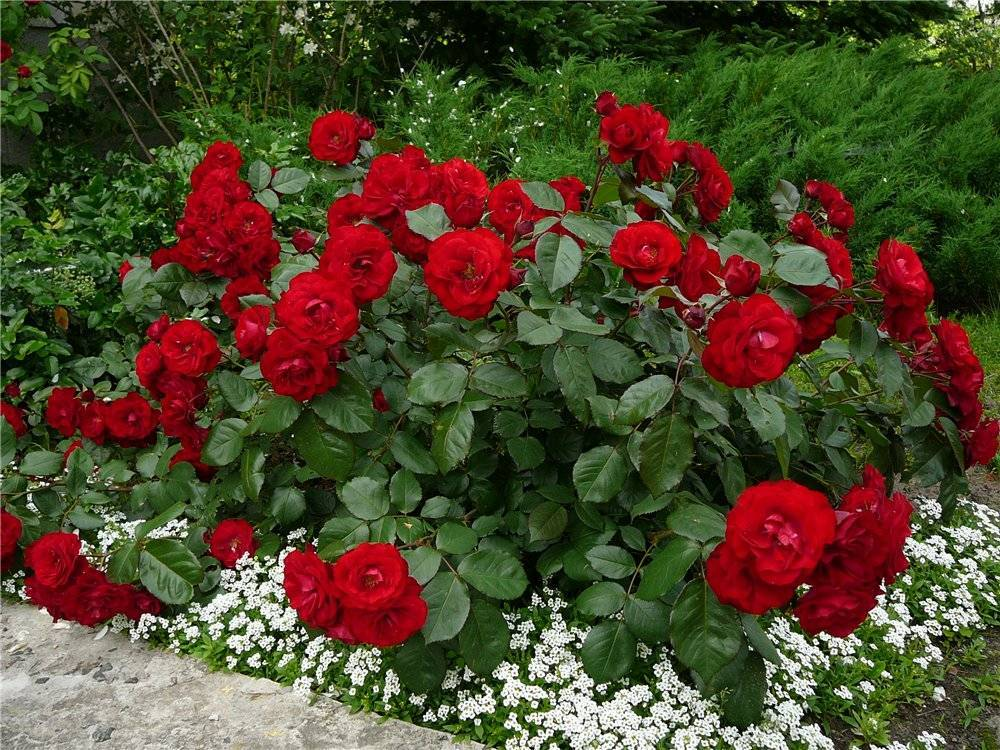 Полиантовые розы: фото и описание, посадка и уход