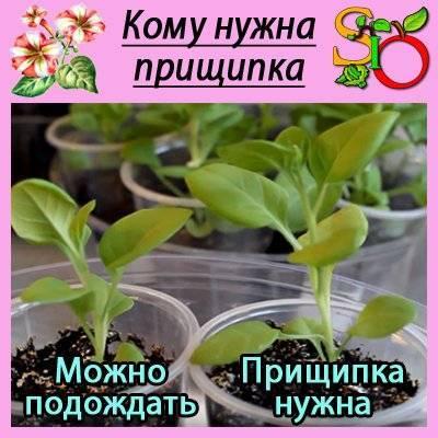 Как прищипывать рассаду петунии?