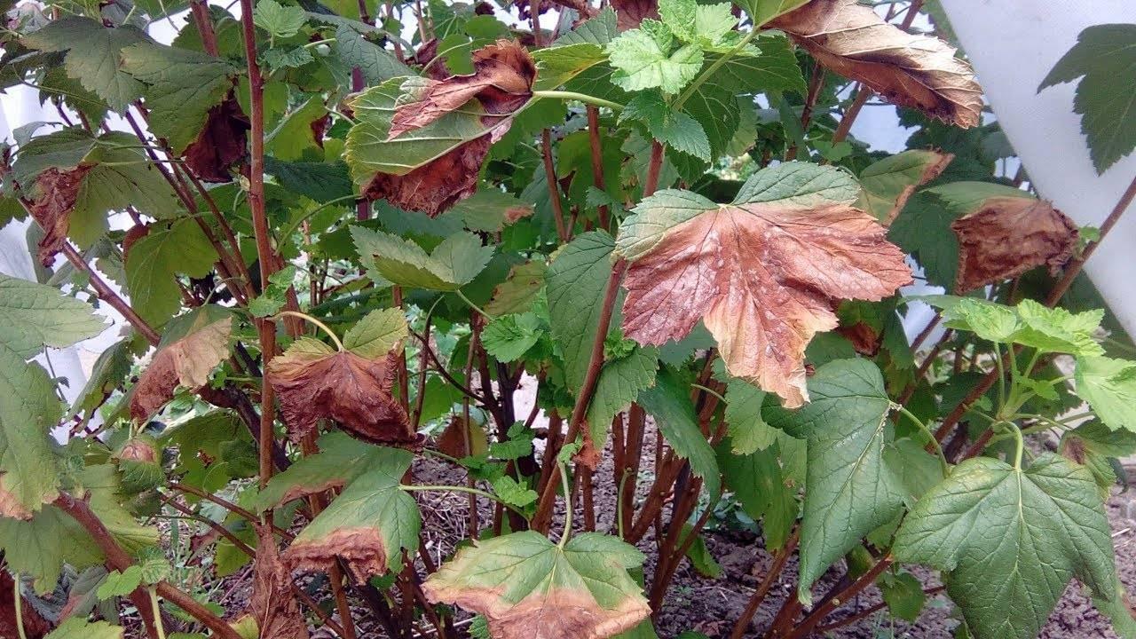 Основные болезни черной и красной смородины