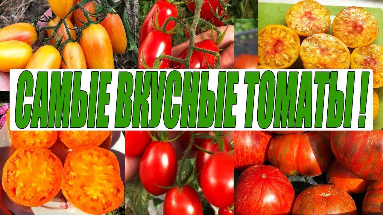 Теплолюбивый томат «золотой юбилей» f1 — яркий скороспелый сорт для вашей теплицы