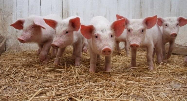Сальмонеллез у свиней симптомы лечение