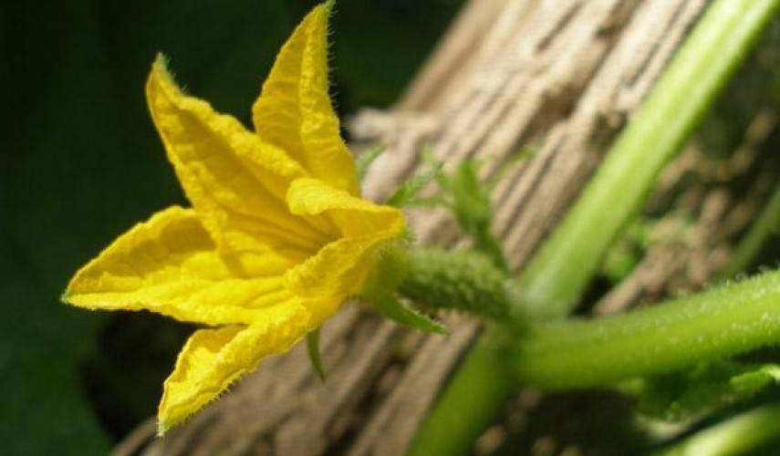 Огурцы пчелоопыляемые: что это такое, особенности выращивания, сорта с описанием и фото