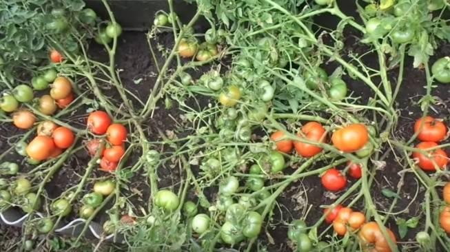 Самые лучшие сорта низкорослых томатов для теплицы из поликарбоната