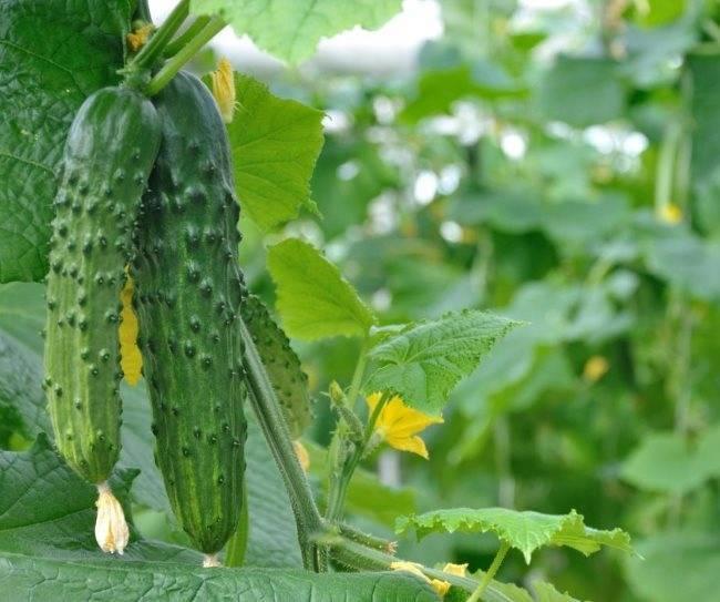 Технология выращивания огурцов в открытом грунте