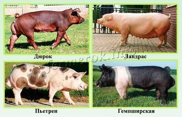 Свиньи ландрас: характеристика, преимущества и уход
