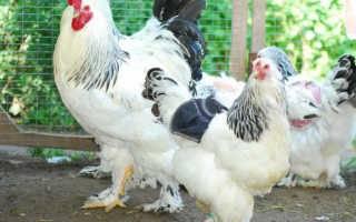 Как определить пол цыплёнка — петух или курица