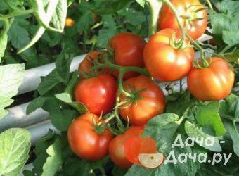 Томат розамарин фунтовый — описание сорта, отзывы, урожайность