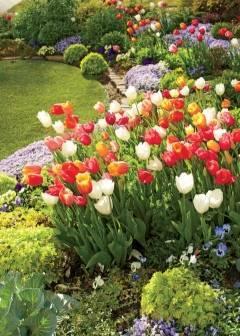Классификация садовых тюльпанов: сорта по классам