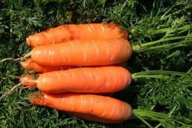 Ранние скороспелые сорта моркови: Курода, Шантане, Кордоба и другие