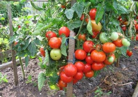 Что значит полудетерминантные помидоры, сорта для теплиц и парников