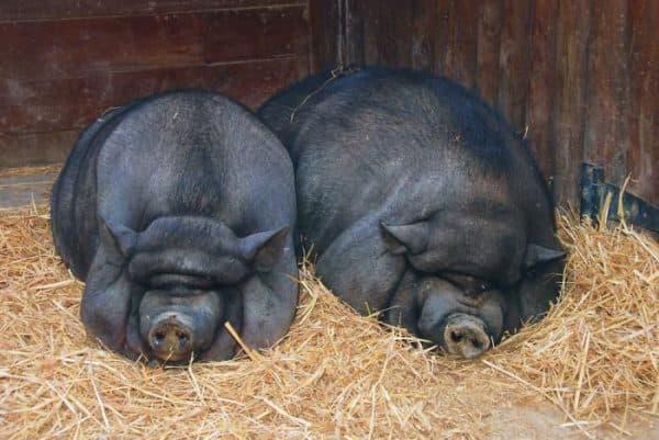Миргородская свинья: подробное описание породы