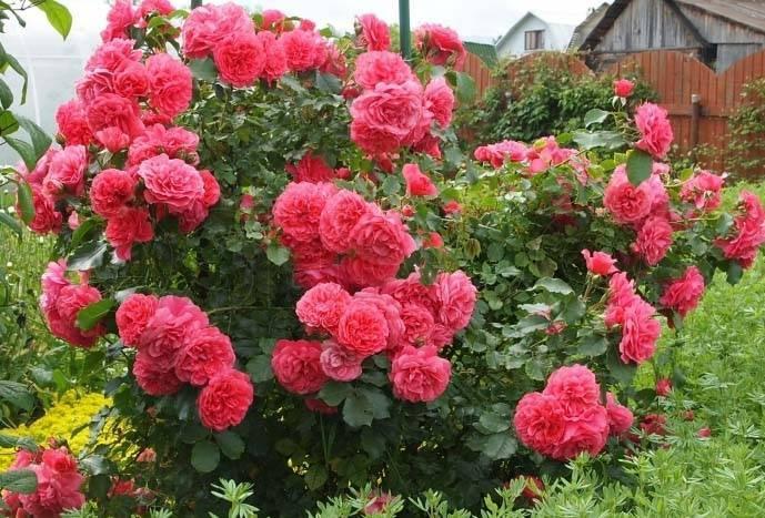 Посадка и уход за цветком розы плетистой розариум ютерсен