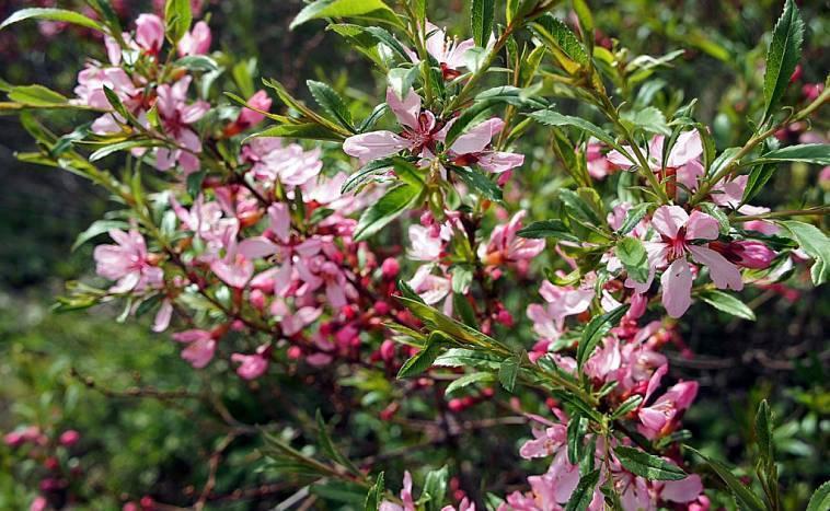 Миндаль розовая пена посадка и уход в открытом грунте