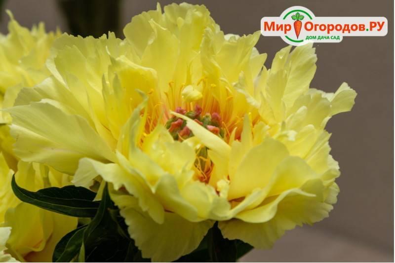 Ито-пионы: достойное украшение вашего цветника