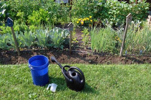 Полив капусты в открытом грунте: как часто и правильно поливать