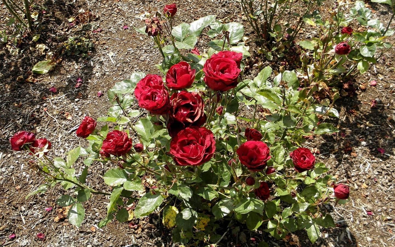 Правила и сроки посадки саженцев роз