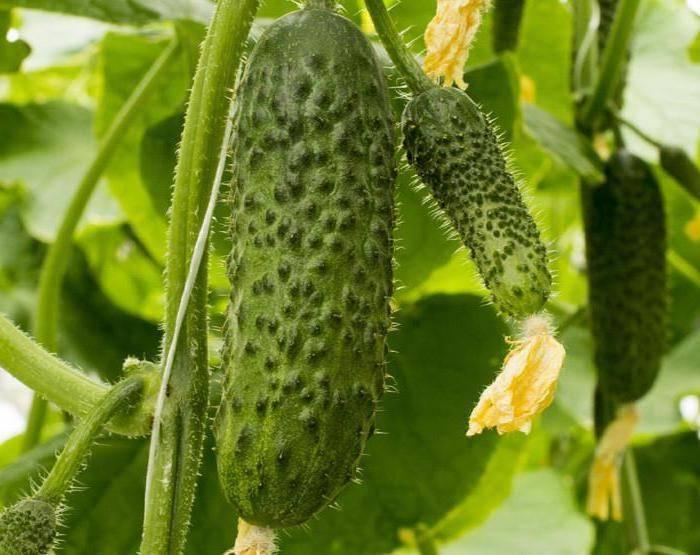 Гибрид огурцов «св 4097 цв f1»: фото, видео, описание, посадка, характеристика, урожайность, отзывы