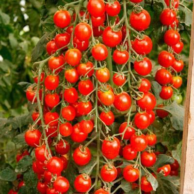 Описание сорта томата каскад — как поднять урожайность