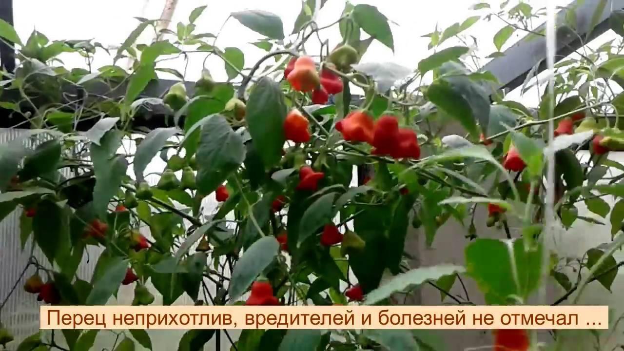 Особенности выращивания красного перца «колокольчик»