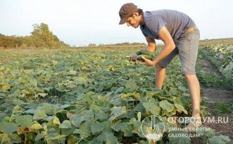 Голландский огурец трилоджи f1: свойства и характеристики гибрида, реальные отзывы огородников