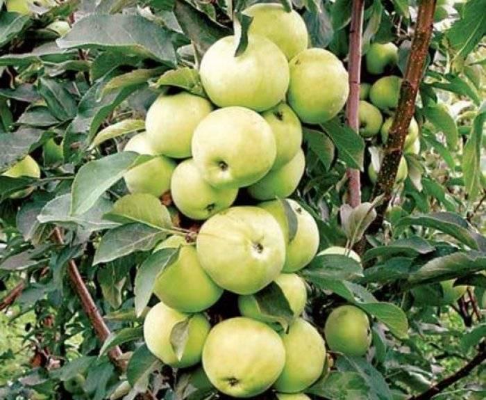 Как правильно посадить и ухаживать за колоновидной яблоней
