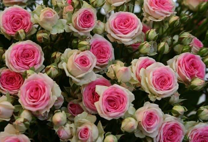 Описание розы сорта крокус роуз, особенности посадки и ухода