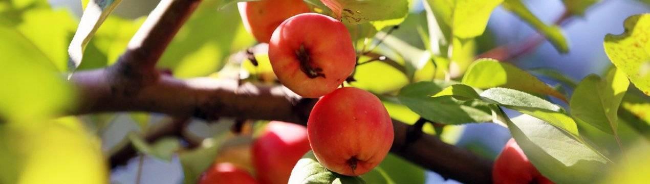 Томат райское яблоко — описание и характеристика сорта