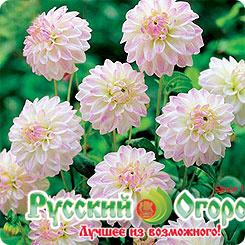 Нарциссы: посадка в открытом грунте и уход, выращивание в саду