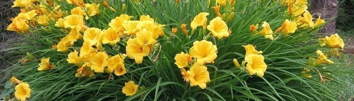 Лилейник — цветок на один день