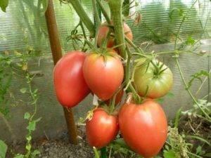 Томат улиссе: характеристика и описание сорта, урожайность с фото
