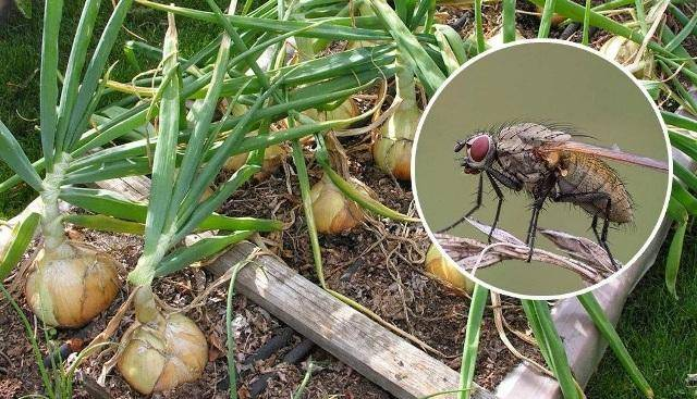 Как бороться с луковой мухой народными и химическими средствами?