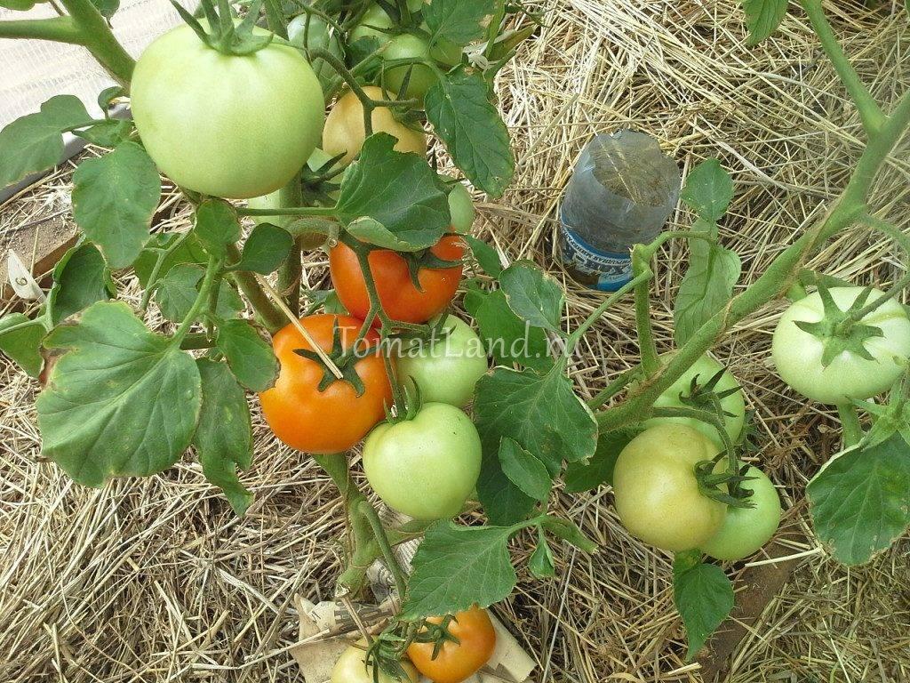 Характеристика и описание сорта томата Звезда Сибири