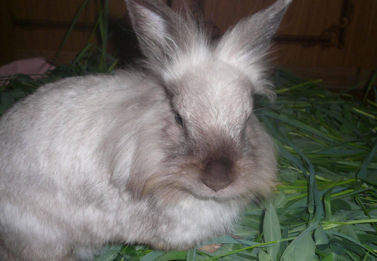 Карликовые кролики: уход и содержание