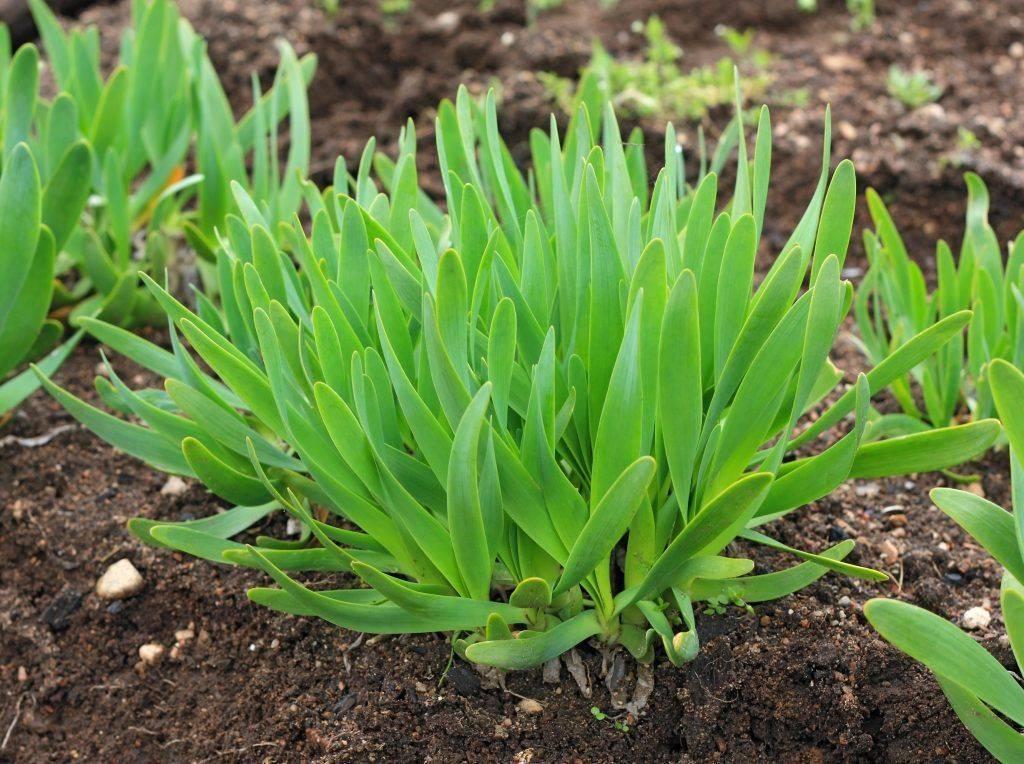 Лук-слизун: особенности выращивания и ухода