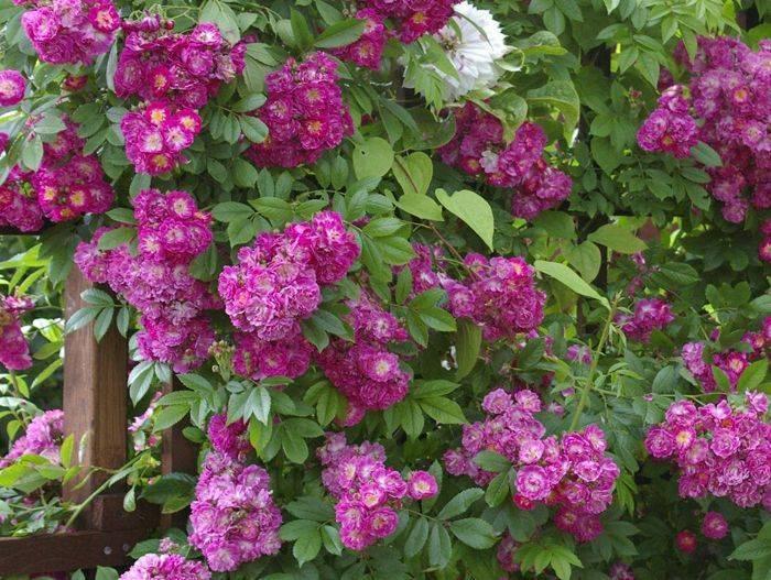 Роза «блю парфюм»: описание, фото, посадка и выращивание голубой розы
