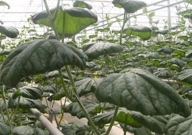 Почему скручиваются огурцы и их листья в теплице и открытом грунте