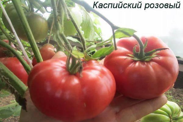 Описание крупноплодного томата китайский розовый, рекомендации по выращиванию