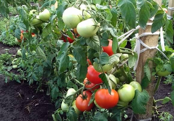 Томат боец (буян) — неприхотливый «сибиряк» для ленивых огородников