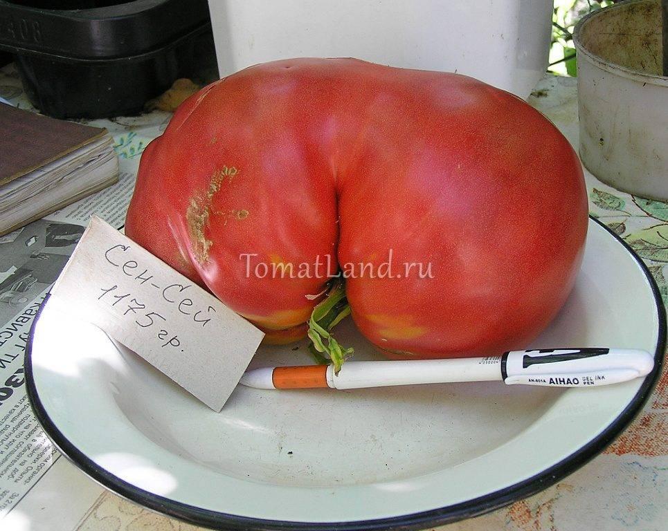 Фото, видео, отзывы, описание, характеристика, урожайность сорта томата «сенсей»