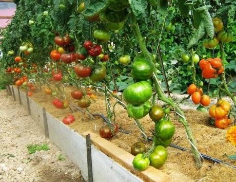 Описание сорта томата Яша Югославский, особенности ухода за растением