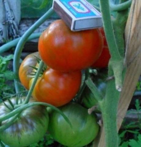 Крупноплодный сорт томата «золотой король»: описание, характеристика, посев на рассаду, подкормка, урожайность, фото, видео и самые распространенные болезни томатов