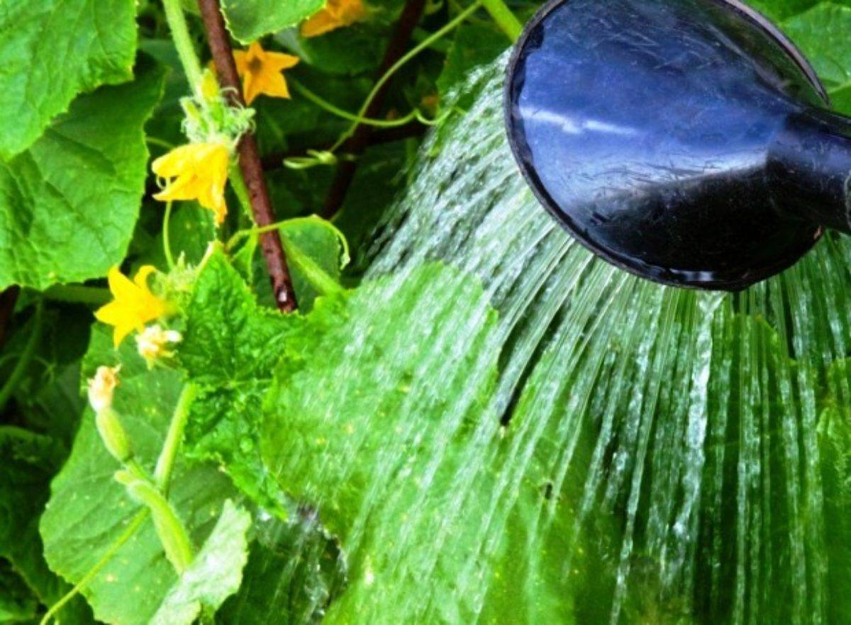 Как правильно поливать огурцы в теплице: капельным поливом или по старинке? как часто, сколько раз нужно, когда лучше — утром или вечером