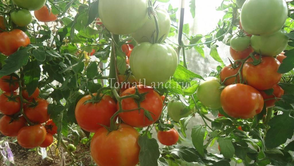 Описание томата сорта буги вуги и его характеристика
